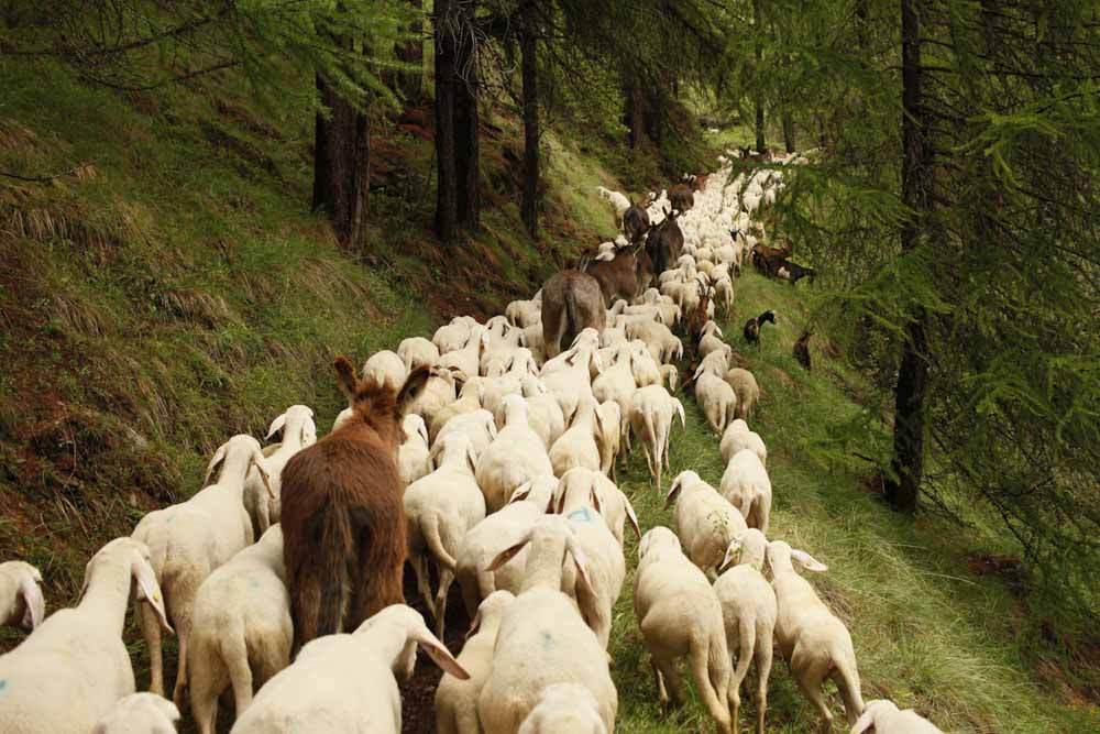 I took this picture in Italy, in 2011, when the shepherd Fulvio moved the flock from the plain to the mountain.